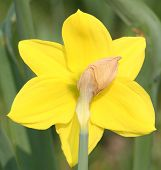 Back Of A Daffodil Flower