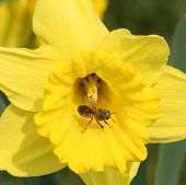Daffodil And Bee
