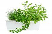 Fresh herbs in planter