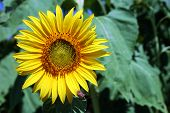 stock photo of heliotrope  - Image of sunflower on a sunny day - JPG