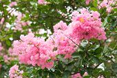 Flower Of Crape Myrtle