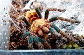 Portrait Of Spider Tarantula From Venezuela Macro.