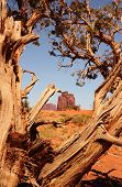 image of bute  - Tree framing a bute at monument valley