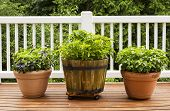 Home Herb Garden Containing Large Flat Leaf Basil Plants