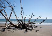 Dead Live oak tree in sand
