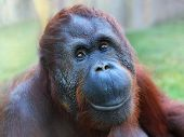 stock photo of primite  - Happy smile of The Bornean orangutan  - JPG