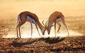 pic of antelope horn  - Springbok dual in dust  - JPG