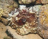 stock photo of octopus  - Common reef octopus underwater camouflaged on tropical coral - JPG