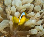 Red Sea Anemonefish In An Anemone