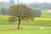 stock photo of tire swing  - Old tire swing in hanging from a white Oak tree in a fall colored winery in the Willamette Valley near Portland Oregon - JPG