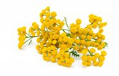 picture of tansy  - tansy flowers  - JPG