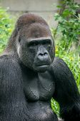 Gorilla portrait and body muscle