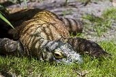 pic of komodo dragon  - Komodo Dragon resting in the shade of a tree - JPG