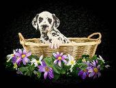 Sweet Dalmation Puppy