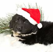 image of newfoundland puppy  - Cute Newfoundland puppy wearing a Santa hat on a white background - JPG