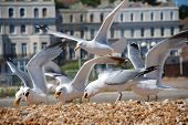 European Herring Gulls (Larus Argentatus) scavenging chips on the beach at Folkestone in Kent, Engla