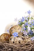 Quail eggs in a nest, forget-me-nots