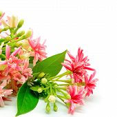 stock photo of creeper  - Beautiful Rangoon Creeper flower  - JPG