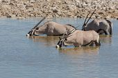 Oryx in waterhole