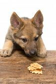 Funny nine weeks old german shepherd puppy stealing a cookie