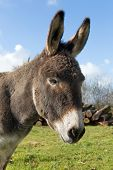 Head-shot of a donkey in a meadow in winter light