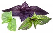 Green and violet basil leaves isolated on a white.