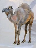 Illustration of the Camel
