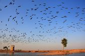 Flock Of Demoiselle Crains Flying In Blue Sky, Khichan Village, India