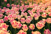 Pink Tulips In The Sunlight On Sunset.