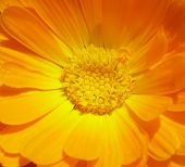 Marigold - Health From Nature