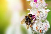 picture of bumble bee  - Bumblebee or bumble bee sitting and loading pollen on the flower in a sunny garden - JPG