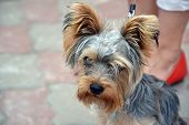 Yorkshire Terrier Sitting