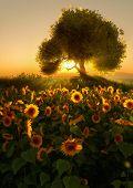 Sunflower Field, 3D Cg