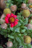 Decorative Echinacea