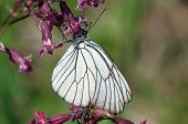Black-veined White Butterfly On A Purple Flower