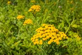 stock photo of tansy  - Closeup of yellow blooming Tansy or Tanacetum vulgare plants in their own natural habitat in the early summer season - JPG