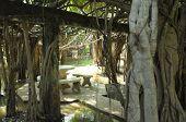 Banyan tree grove in Thailand