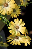 Beauty of the osteospermum flower