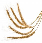 Wheat Spikelets  isolated on a White Background