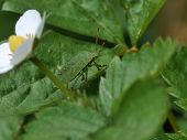 Green Shield Bug ( Palomena Prasina )