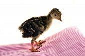 Turkey poult