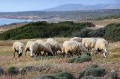 Sheep In Cyprus