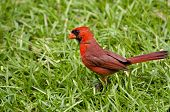 Male Cardinal In Grass
