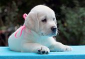 Happy Yellow Labrador Puppy Portrait On Blue