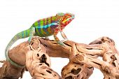 pic of chameleon  - Picture of a chameleon on a white background - JPG