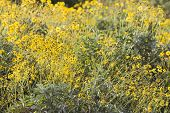 Dubai, UAE, Colourful yellow flowers in gardens at Creekside Park in Bur Dubai