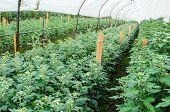 Inside Greenhouse Of Chrysanthemum Flowers Farms