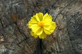 foto of hackney  - Closeup Yellow Marigold on grunge wooden table - JPG