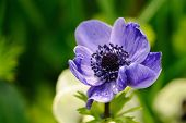 Blue Anemone Against Green Background
