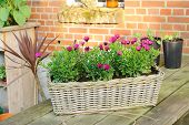 Wicker Basket With Spanish Daisies